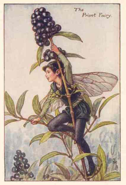 0 barkerfairyflower-fairies-privet-fairy-print.-cicely-barker.c1930-wdjb--130201-p